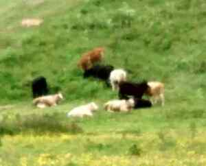 I am looking for one more calf   call 705-927-7649