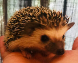 Very sweet, adorable and well socalizd baby Pygmy  Hedgehogs!