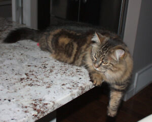 Brown Senior Female Cat - Missing