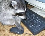 Diligent Raccoon