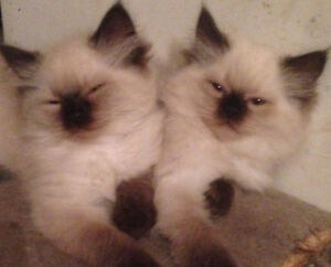 Fluffy Himalayan kitten can deliver Friday