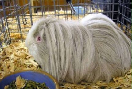 Wanted: WANTED: Lilac Guinea pig
