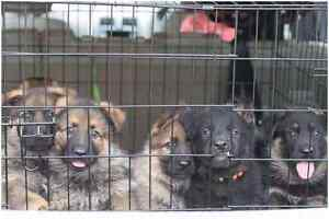 German Shepherd Pups Forrestfield Kalamunda Area Preview