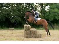 17.1 8yr old Holsteiner x Irish Gelding by Chacoa / Contender / Cor De La Breyer / Cavalier Royale