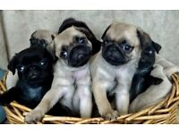Gorgeous Black and Fawn Pug pups