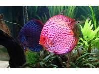 Pair of Discus for Aquarium Fish Tank