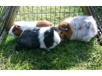 3 guinea pigs looking for new home
