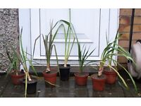 SEVEN YUCCA PLANTS 47-75CMS TALL, TROPICAL, FLOWER WHEN ESTABLISHED ONLY £10 THE LOT, CAN DELIVER