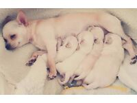 3 male chihuahua for sale