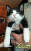 "Baby Male Cat - Domestic Short Hair-black and white: ""Zazou"""