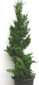 chinesischer wacholder baum juniperus chinensis kaizuka rarit t ebay. Black Bedroom Furniture Sets. Home Design Ideas