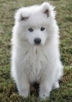 LOOKING FOR SAMOYED PUPPY