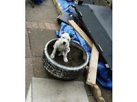 16 week old staff puppy