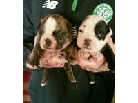 MALE Dorset old tyme bulldog puppies for sale