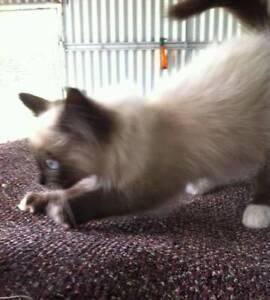 Male Ragdoll Kittens