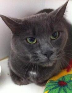 "Adult Female Cat - Domestic Short Hair: ""Misty"""