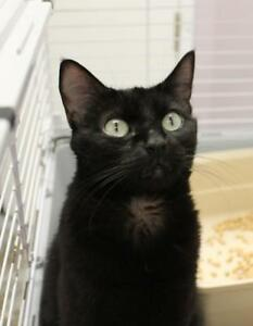 "Adult Female Cat - Domestic Short Hair: ""Gwenirae (Gwen!)"""