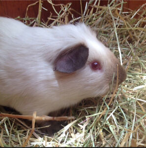 Rising Star Cavy Stud- Rex and Chocolate Himalayan Guinea Pigs Blighty Conargo Area Preview