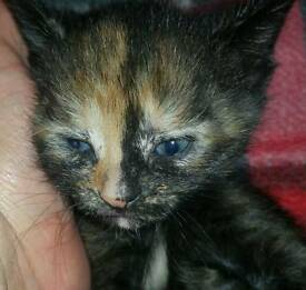 Gorgeous half ginger kitten litter trained