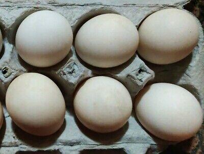 6 Khaki Campbell Duck Fertile Incubation Hatching Eggs