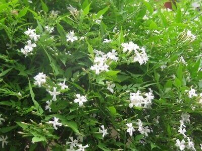 Jasmine Officinale - Poet's Jasmine - Fragrant- Plant - Approx 12-18 Inch