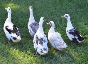 Ancona Duck eggs for Hatching