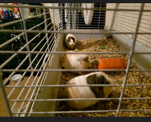 3  Guinea pig sisters  need gone asap
