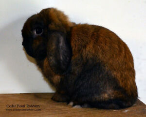 Solid USA Imported Holland Lop Buck Kitchener / Waterloo Kitchener Area image 2