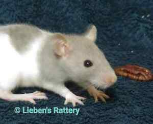 6 week old female rats