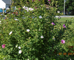 Pink or Purple Rose of Sharon