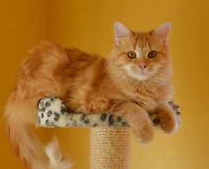 An adult Siberian Red Female Cat. She is hypoallergenic