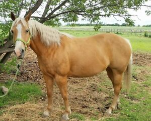 Beautiful 11 year old QH Mare