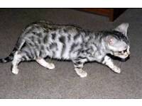 Gorgeous silver Bengal x Blue kittens female 1 left
