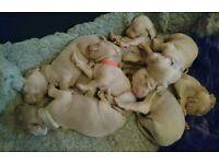 Beautiful KC registered Weimaraner pups