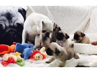 Amazing KC reg puppy's, white and sliver gene carriers, champion bloodlines