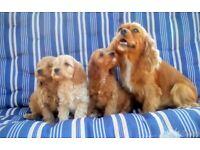 Cavapoo Puppies Fox Red/Apricot