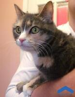 "Adult Female Cat - Domestic Short Hair: ""Starla"""