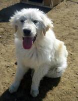 "Young Female Dog - Great Pyrenees: ""Kona"""