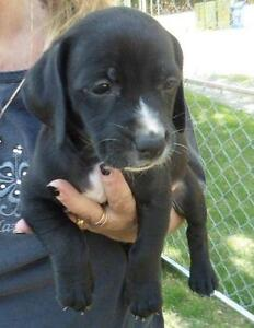"Young Male Dog - Bluetick Coonhound-Labrador Retriever: ""Digit"""