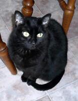 """Senior Female Cat - Domestic Short Hair-black: """"Mandy"""""""