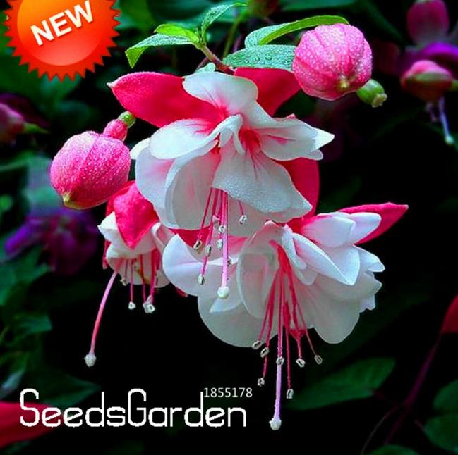 200 Pcs Seeds Mountain Phlox Bonsai Potted Plants Flowers Home Garden NEW 2018 X