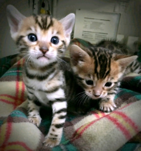 ❤A1-CHATONS BENGAL PURE❤EXOTIC PURE BENGAL KITTENS❤