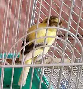 Beautiful Canaries for sale!