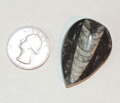 Orthoceras Fossil a Nautiloid Cephalopod on Matrix (8867)