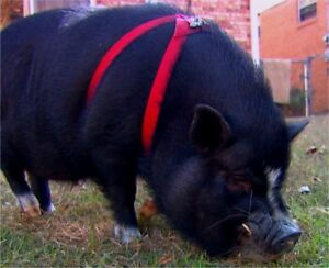 Looking for a boarding facility for pet pigs
