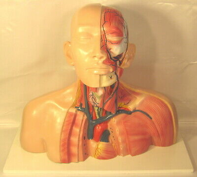 Human Head Neck Thoracic Veins Anatomy Anatomical Model Medical School Torso New