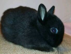Two Netherland dwarf buck (boy) bunnies