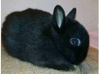 Two Netherland dwarf buck (boy) bunnies