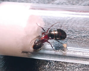 Carpenter Ant Queen with a few eggs