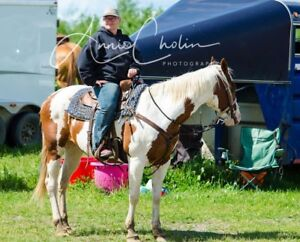 20 Yr old Registered Paint Mare